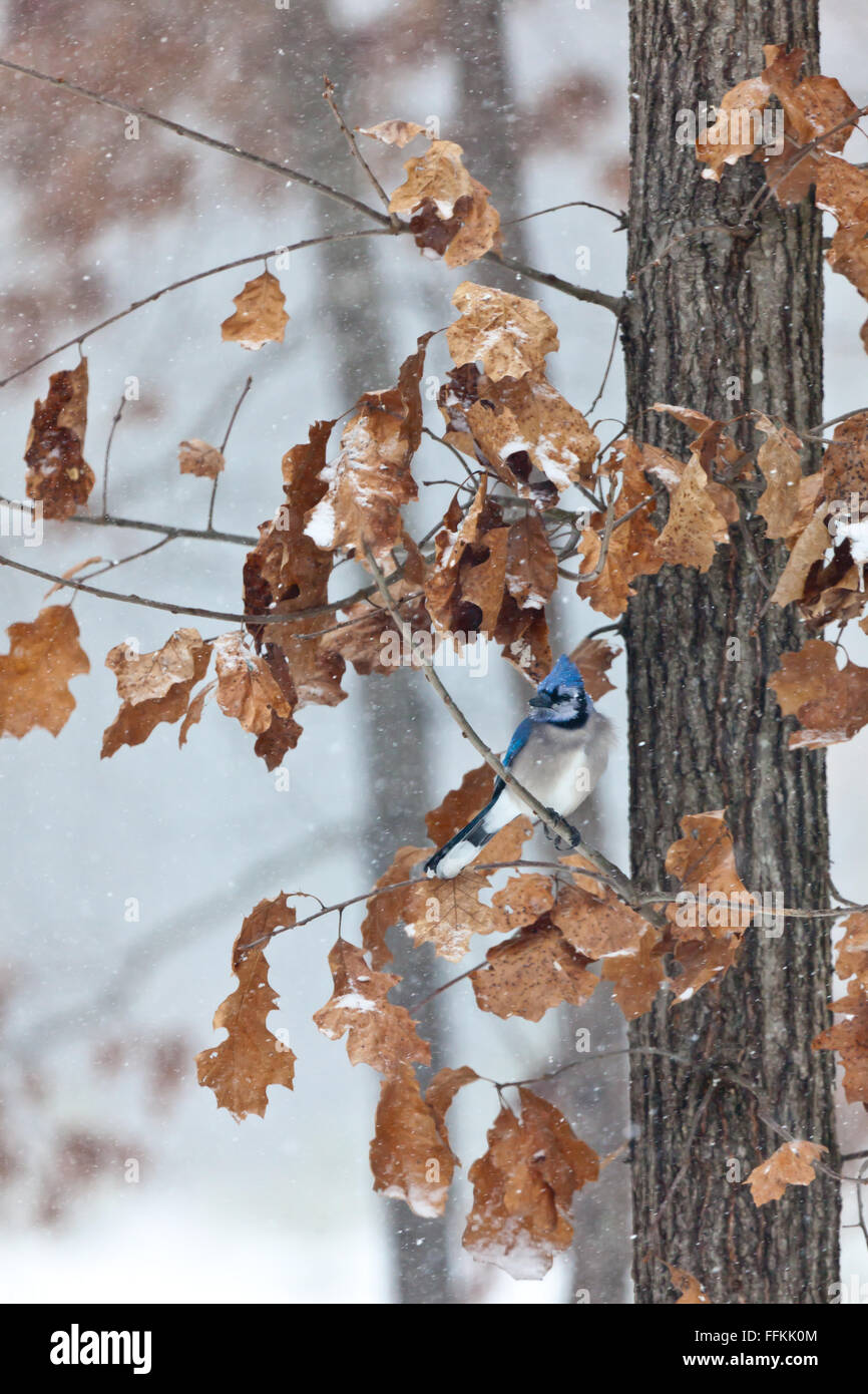 Blue jay sitting on a branch during the winter while it is snowing Stock Photo