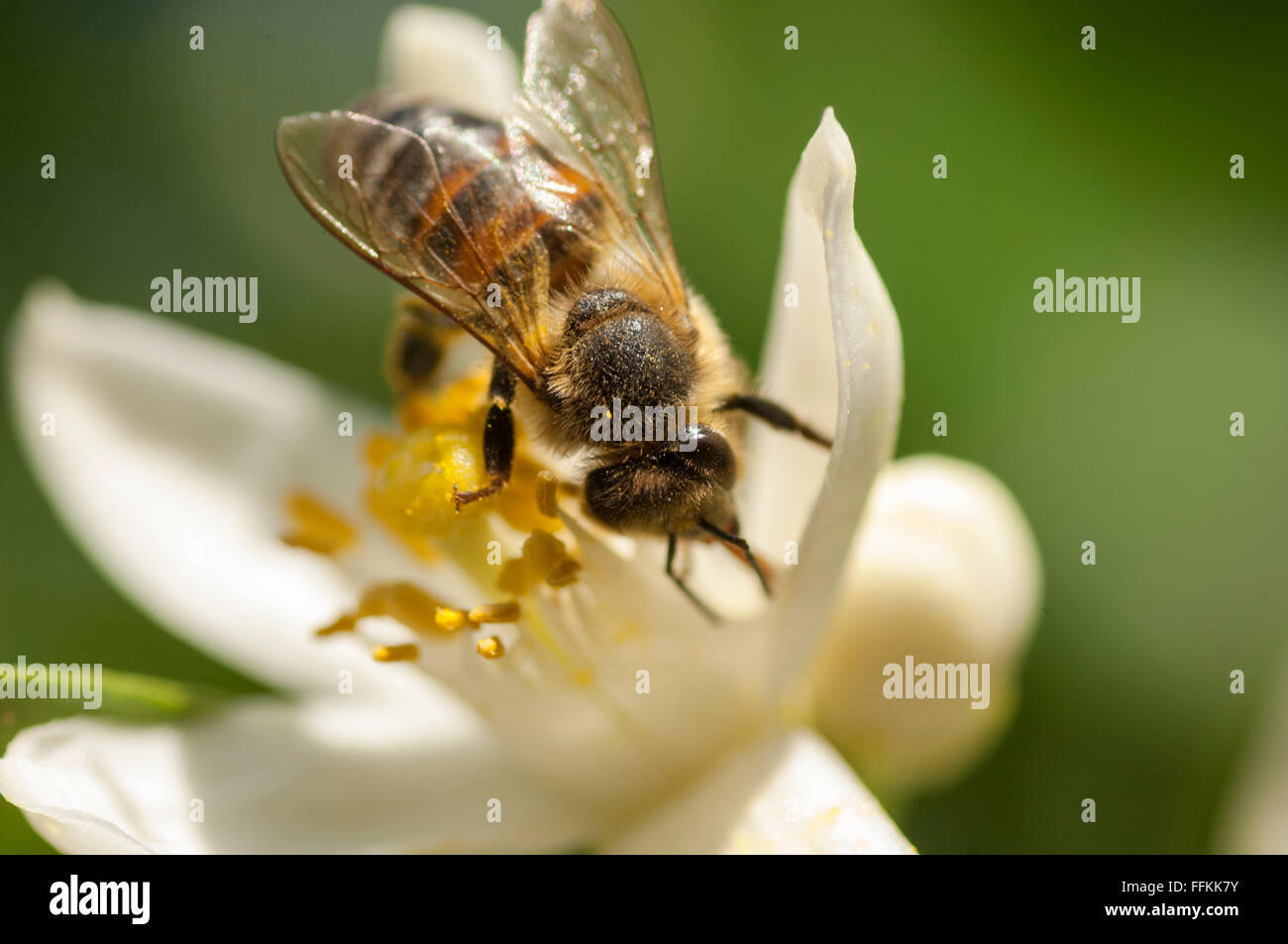 Honey Bee pollinating citrus blossom - Stock Image
