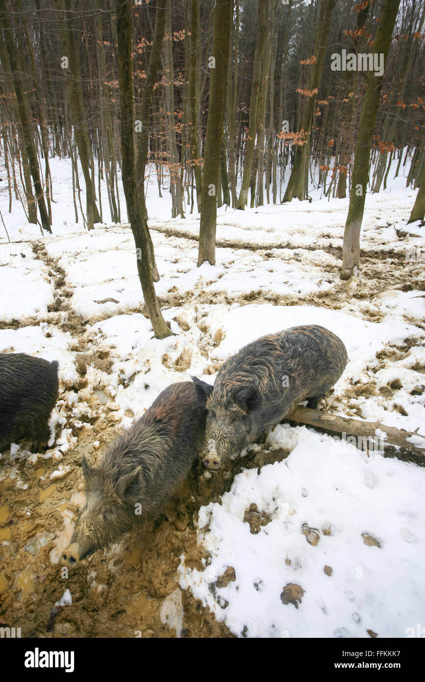 Wild boars searching for food with their snouts in the mud covered with snow in the forest. - Stock Image