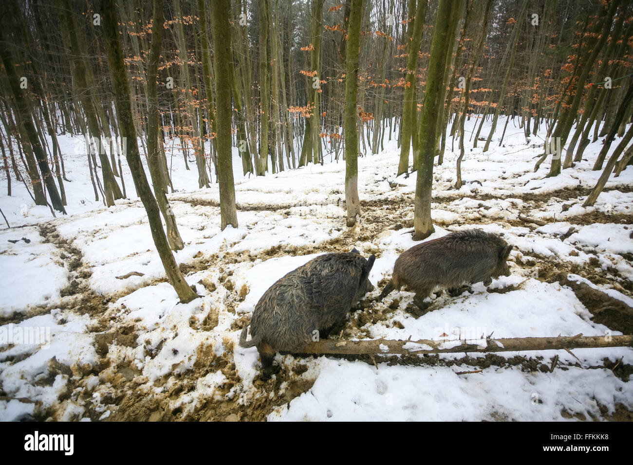 Two wild boars walking in the mud covered with snow in the forest. - Stock Image