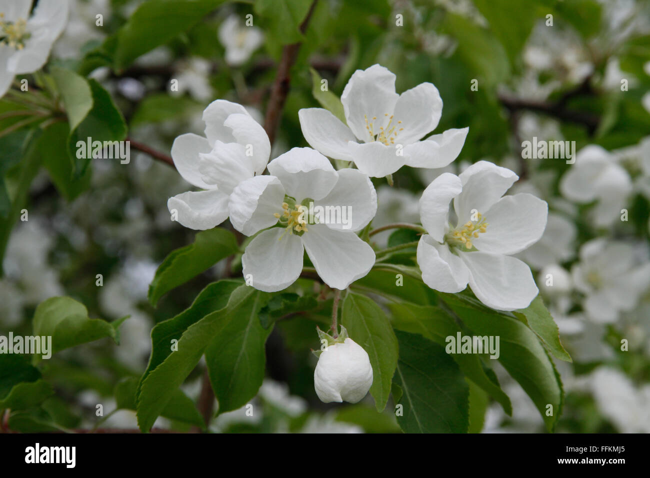 Close Up Of White Flowering Crabapple Blossoms Stock Photo 95704957