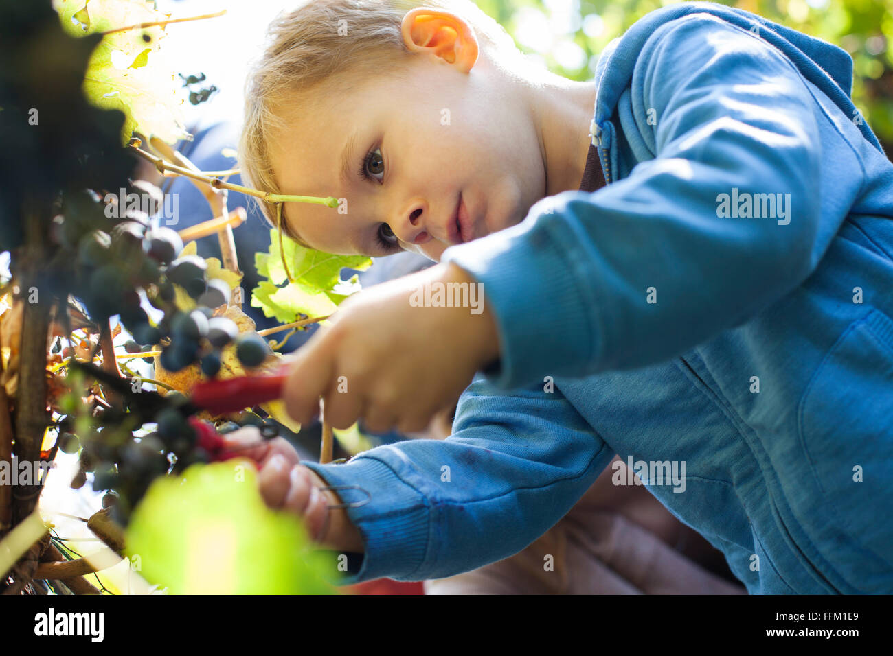 Father and son harvesting grapes together in vineyard - Stock Image