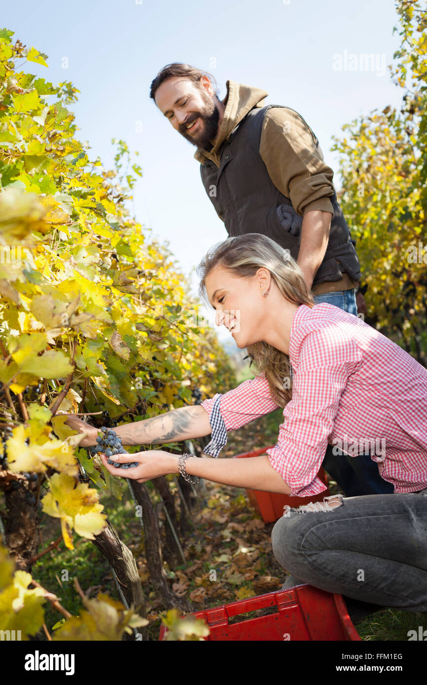Couple harvesting grapes together in vineyard - Stock Image