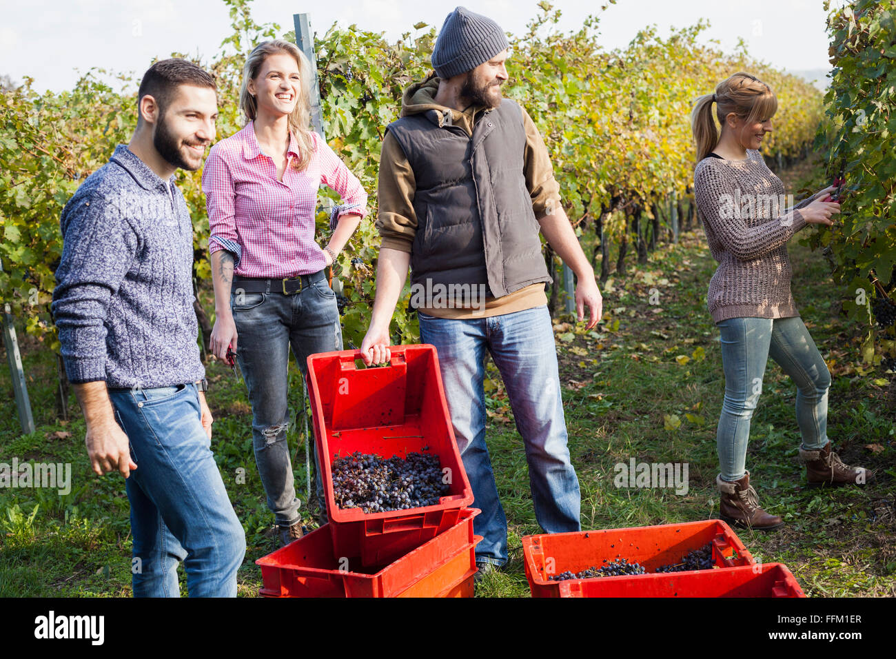Friends unloading grapes into crates in vineyard - Stock Image