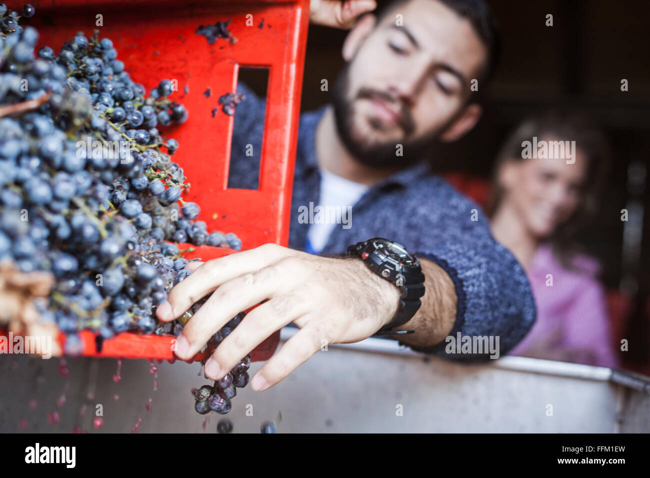 Man unloading grapes into container in vineyard - Stock Image