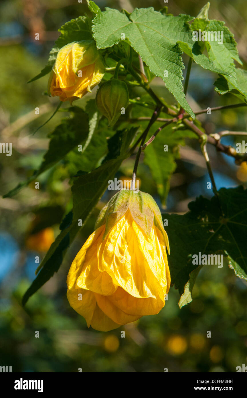 Abutilon x hybrida, Yellow Chinese Lantern - Stock Image