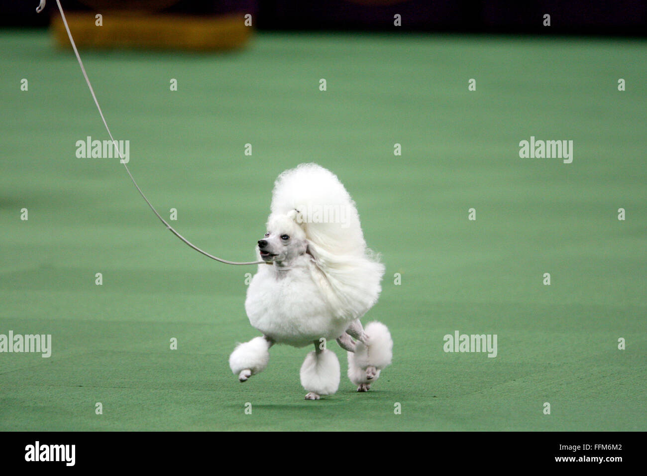 New York, USA. 15th February, 2016. CH Wonderful Rizu Jp Nicole Precious, A Toy Poodle during the Toy Group competition - Stock Image