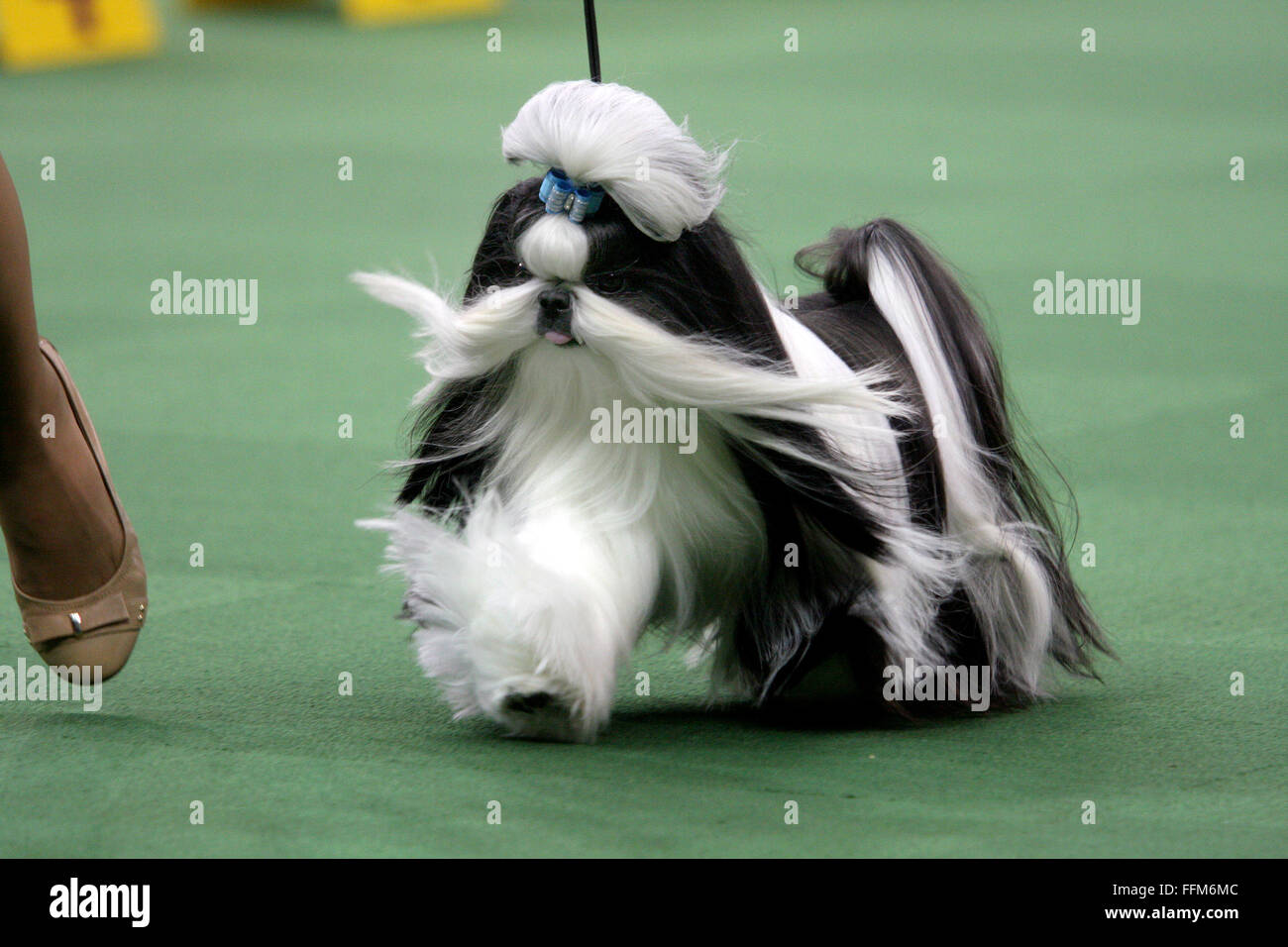 New York, USA. 15th February, 2016. GCH Wenrick's Don't Stop Believing, A Shih Tzu during the Toy group - Stock Image
