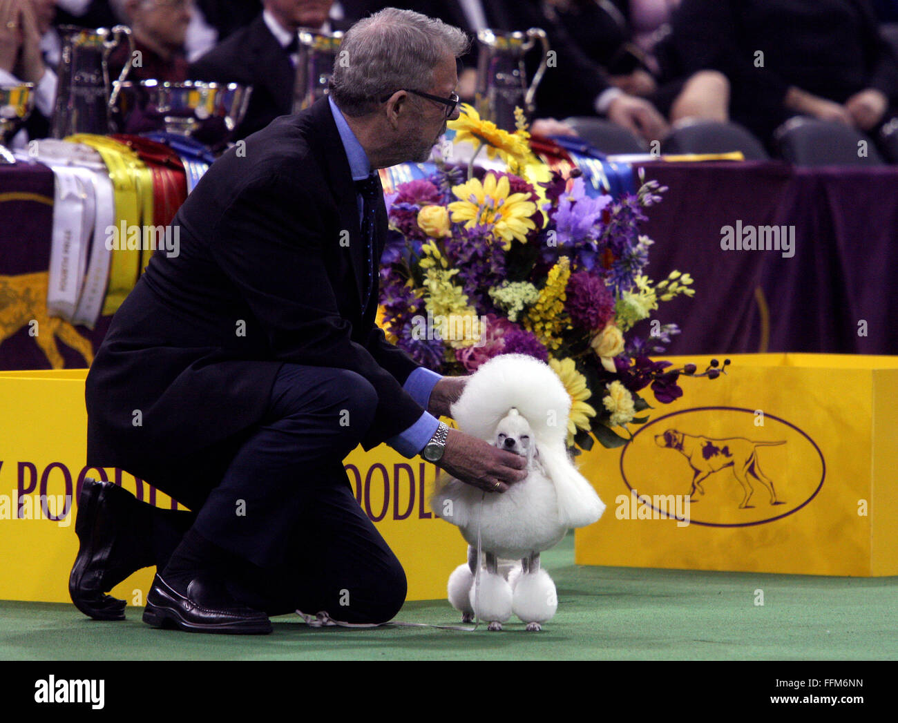 New York, USA. 15th February, 2016. CH Wonderful Rizu Jp Nicole Precious, A Toy Poodle gets some attention from Stock Photo