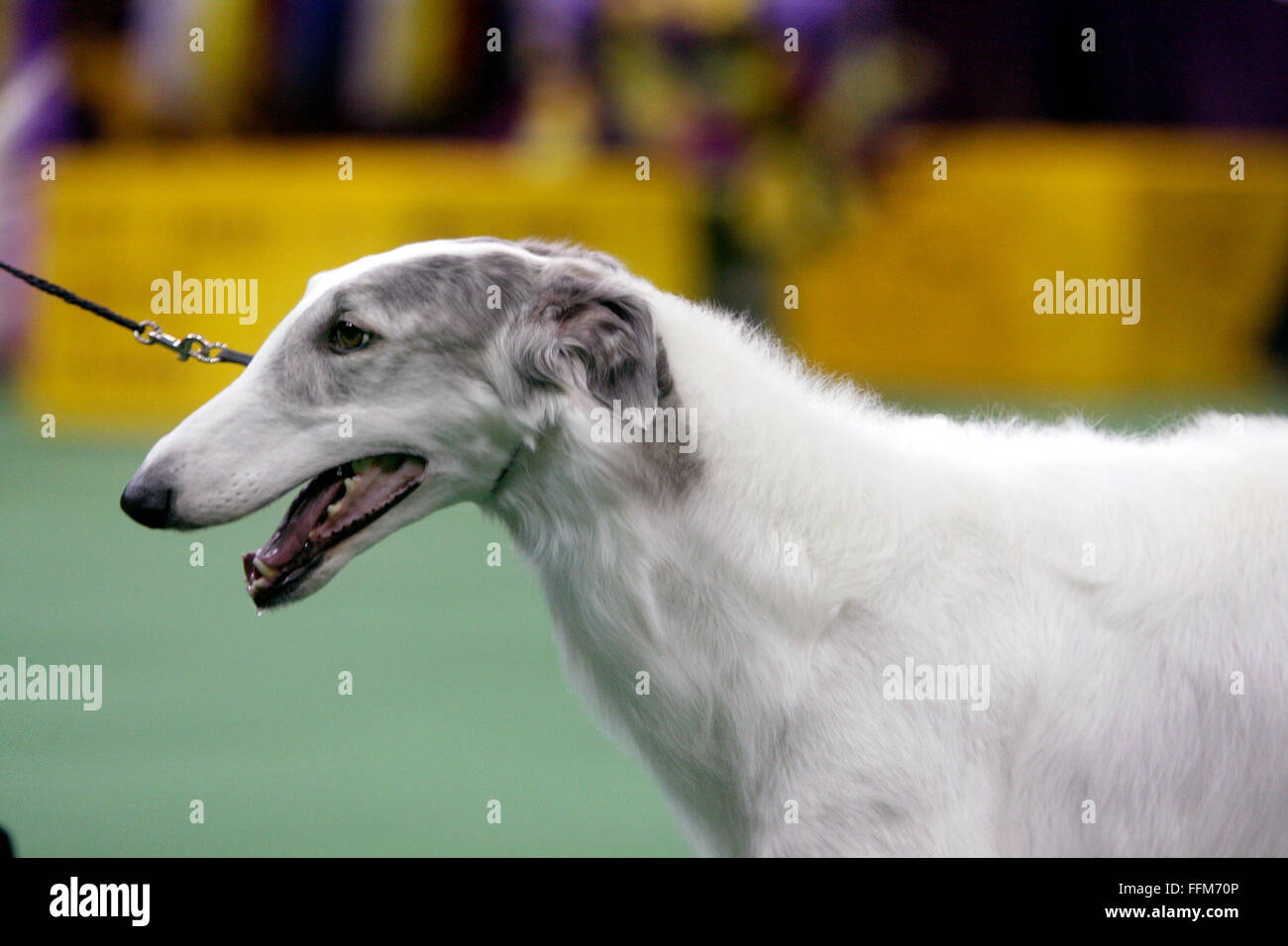 New York, USA. 15th February, 2016. CH Belisarius Jp My Sassy Girl, a Borzol, winning the Hound group competition - Stock Image