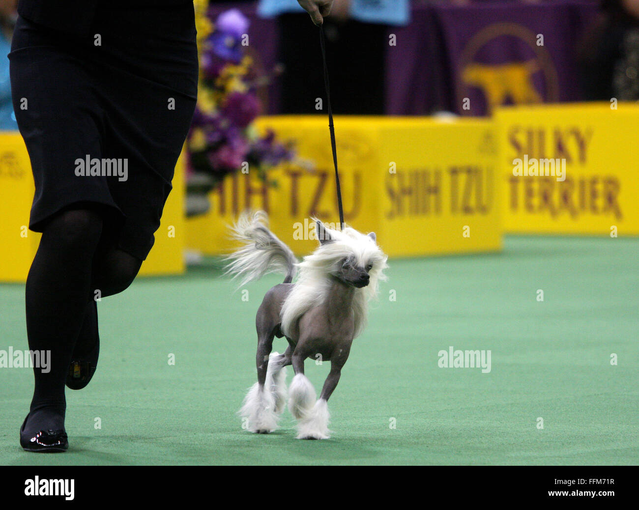 Chinese Crested Dog Show Stock Photos & Chinese Crested Dog Show ...