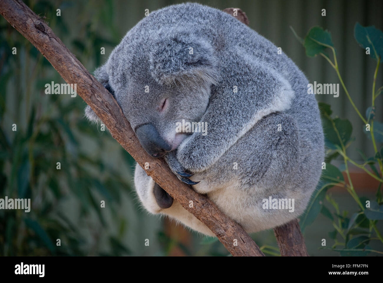 Koala is sleeping on a tree - Stock Image