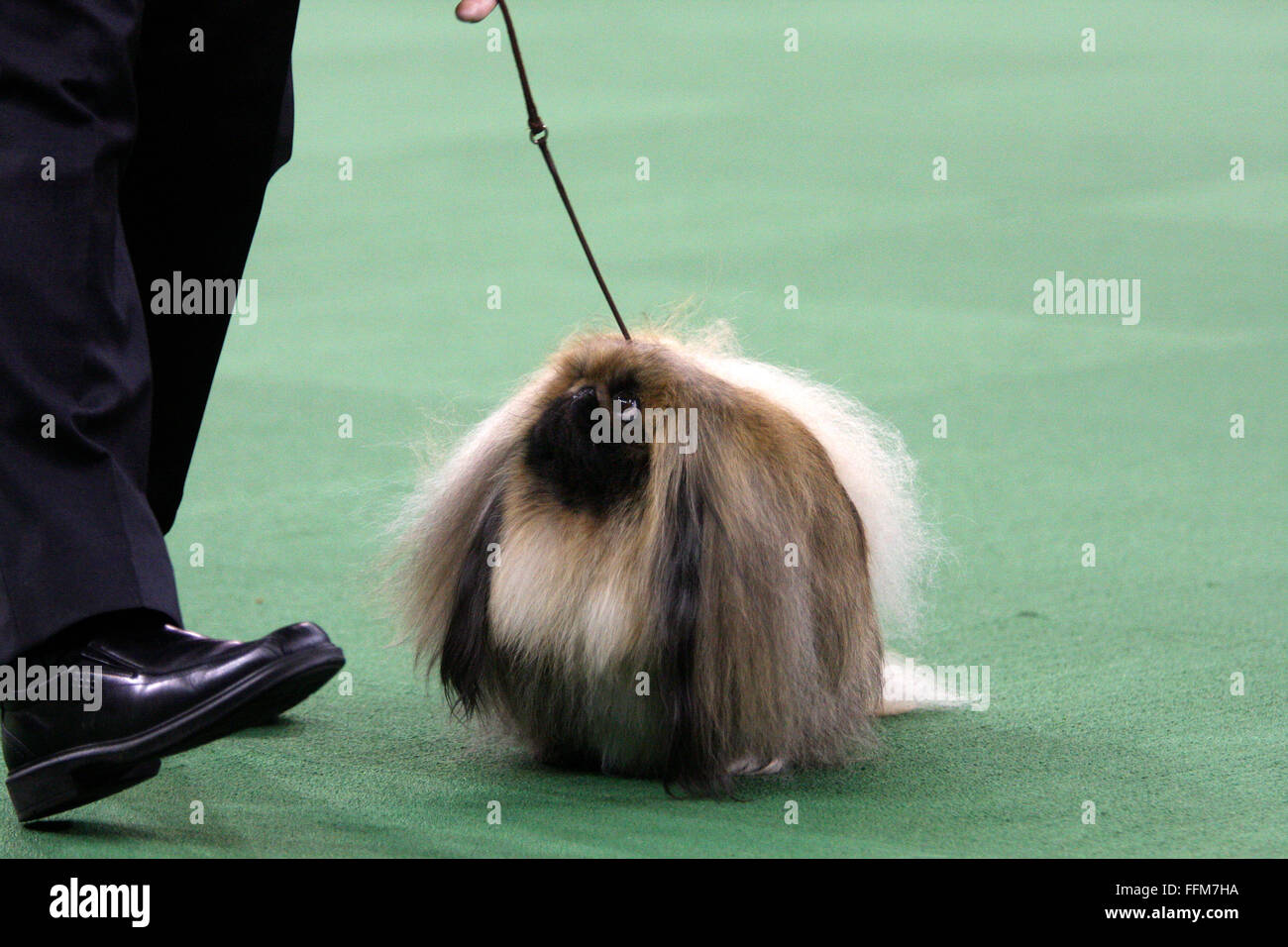 New York, USA. 15th February, 2016. CH Pequest General Tso, a Pekingese, during the Toy group competition at the - Stock Image