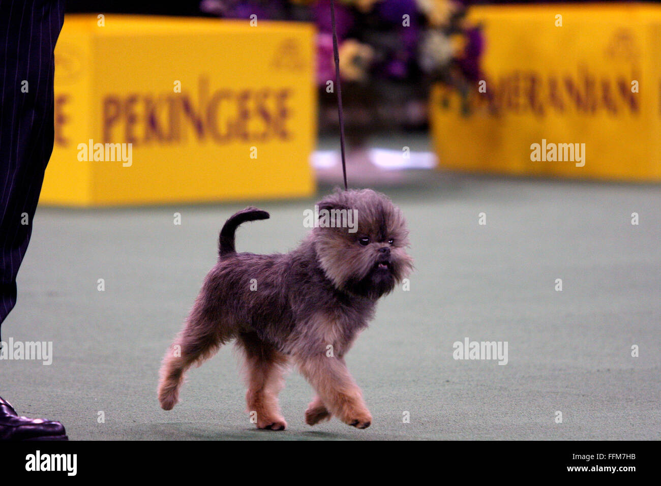 New York, USA. 15th February, 2016. An Affenpincher, during the Toy group competition at the Westminster Dog Show - Stock Image