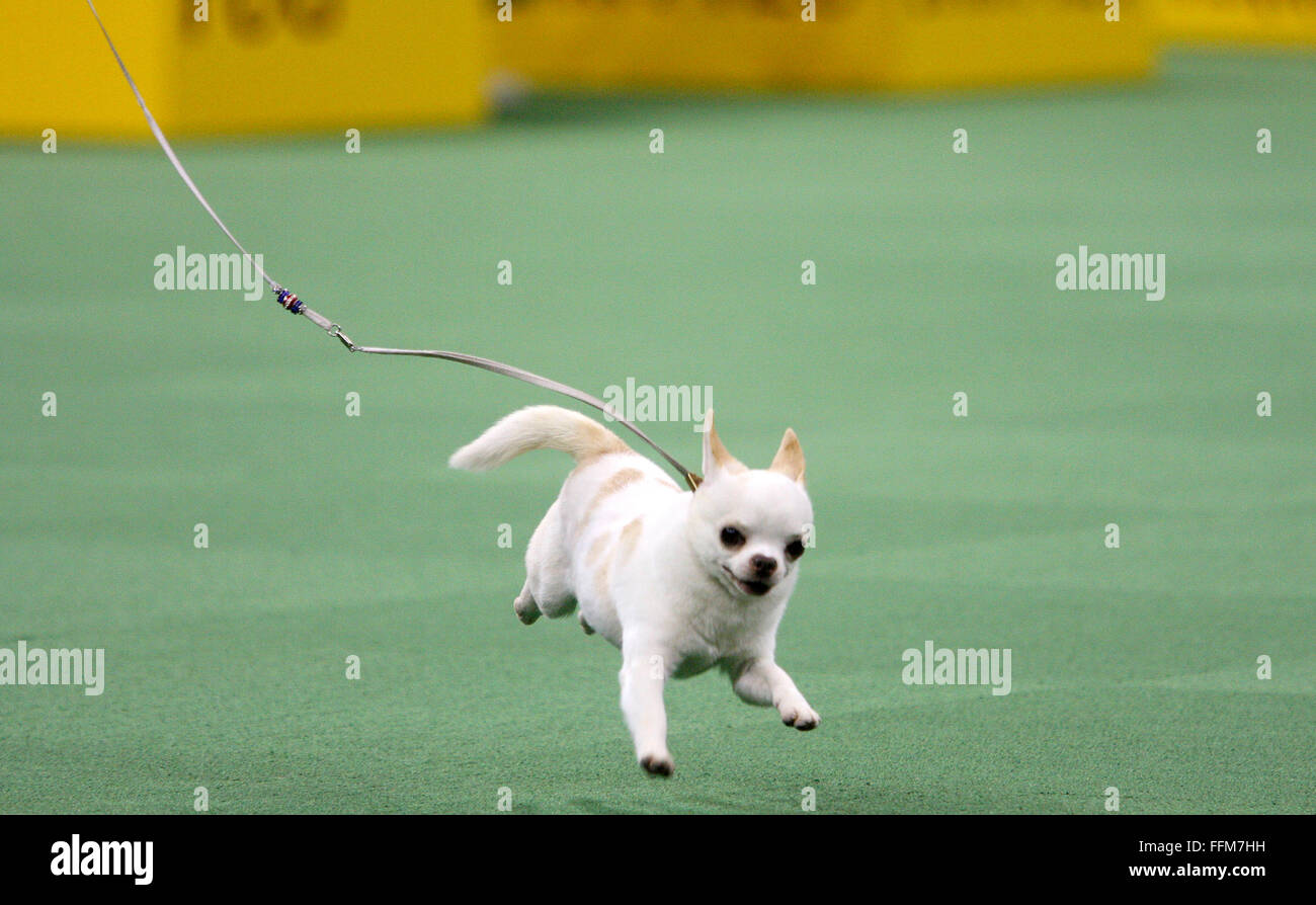 New York, USA. 15th February, 2016. GCH Sonnus Filho (Sanchez), a a Chihuahua (Smooth Coat), during the Toy group - Stock Image