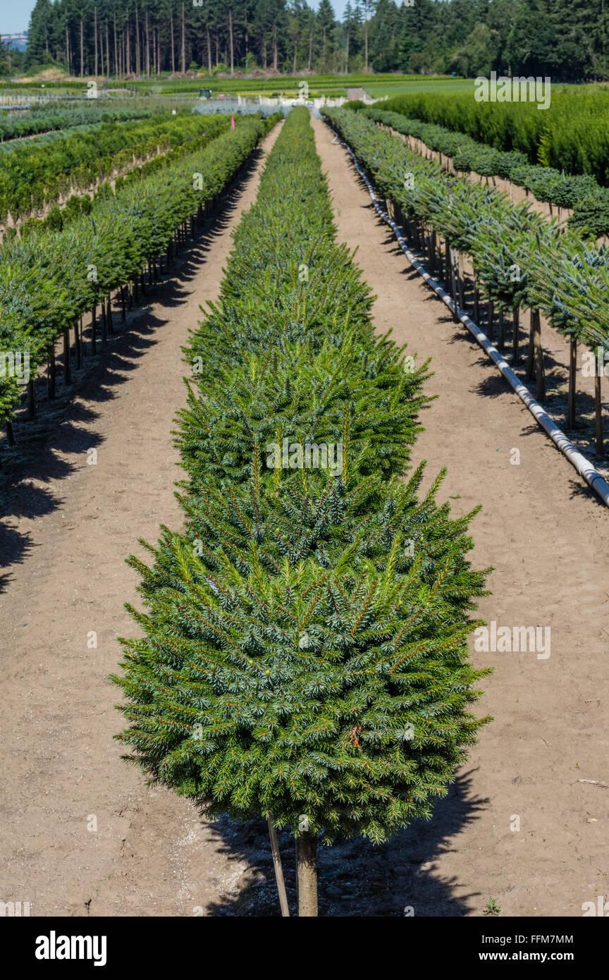 Row of small ornamental conifers in a nursery.  Portland, Oregon - Stock Image