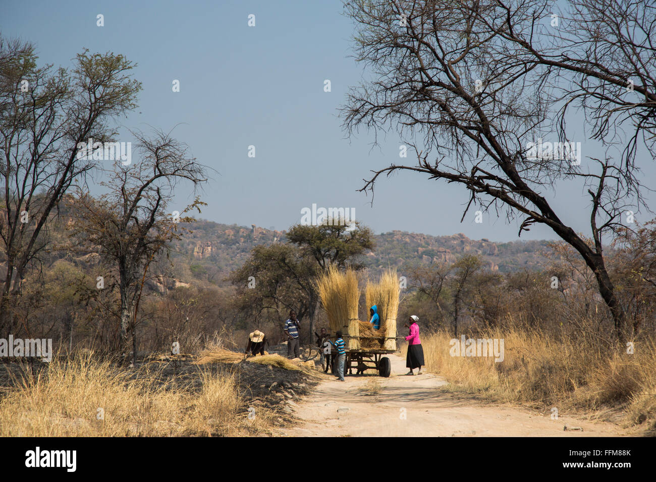 Locals collecting and cutting thatching grass within the Matops National Park - Stock Image