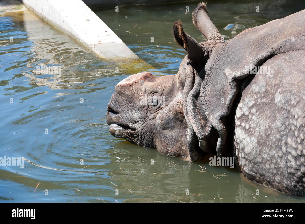 One-horned rhinoceros, Rhinocerotidae unicornis - Stock Image