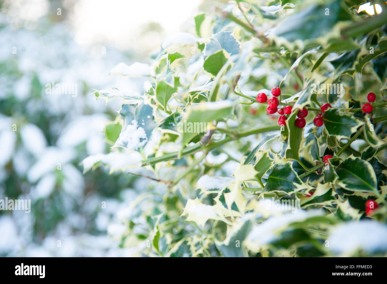 Snow on a holly bush at Drum Castle in Aberdeenshire, Scotland. - Stock Image