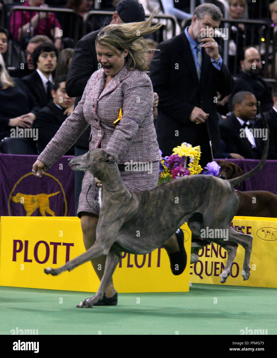 New York, USA. 15th February, 2016. GCH Grandcru Giaconda CGC, a Greyhound in the Hound Group Competition during - Stock Image