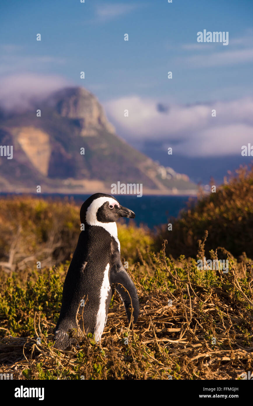African Penguins (Spheniscus demersus) exiting the water at Boulders Beach - Stock Image