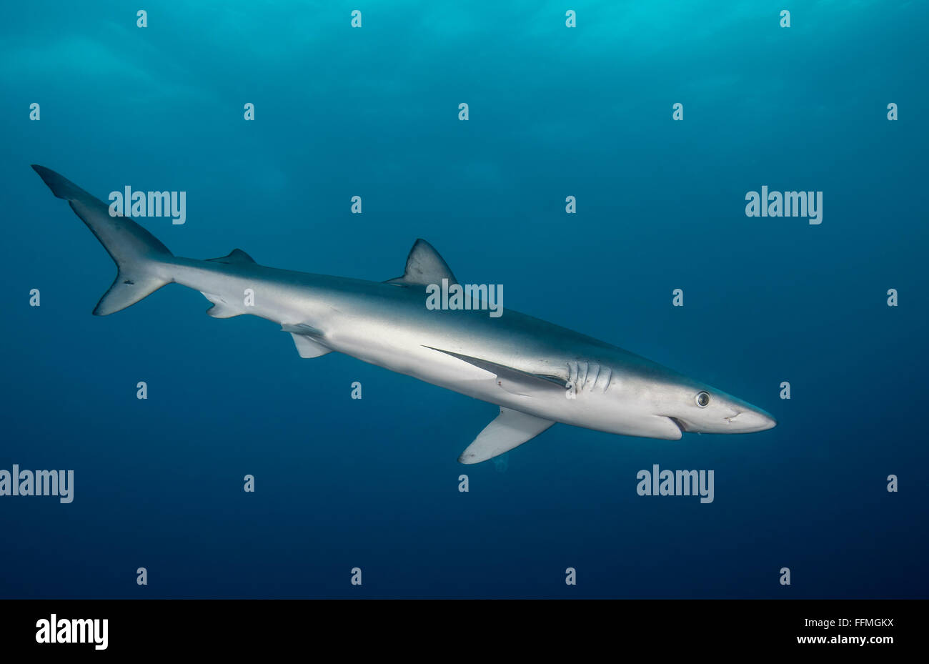 Blue Shark (Prionace glauca), South Africa Stock Photo