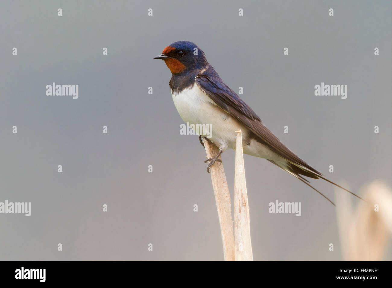 Barn Swallow (Hirundo rustica), adult perched on a  reed, Atena Lucana, Campania, Italy - Stock Image