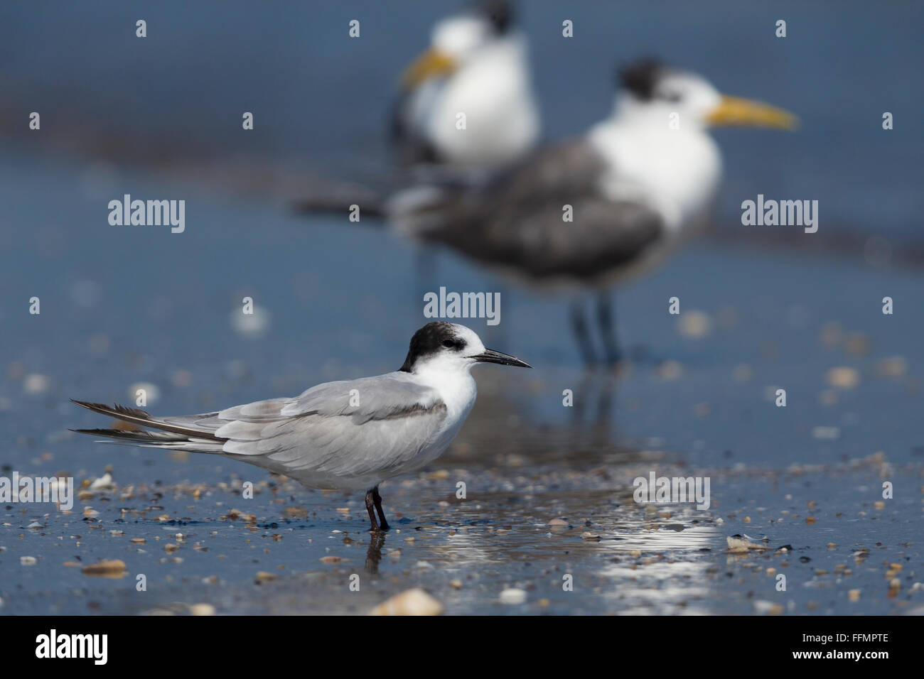 Common Tern (Sterna hirundo), standing on a beach, Liwa, Al-Batihan, Oman - Stock Image