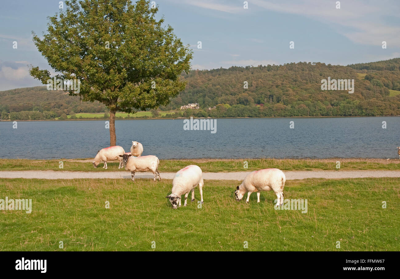 Coniston Water with Brantwood in the distance , near Coniston village,  near Ambleside, Lake District National Park, - Stock Image