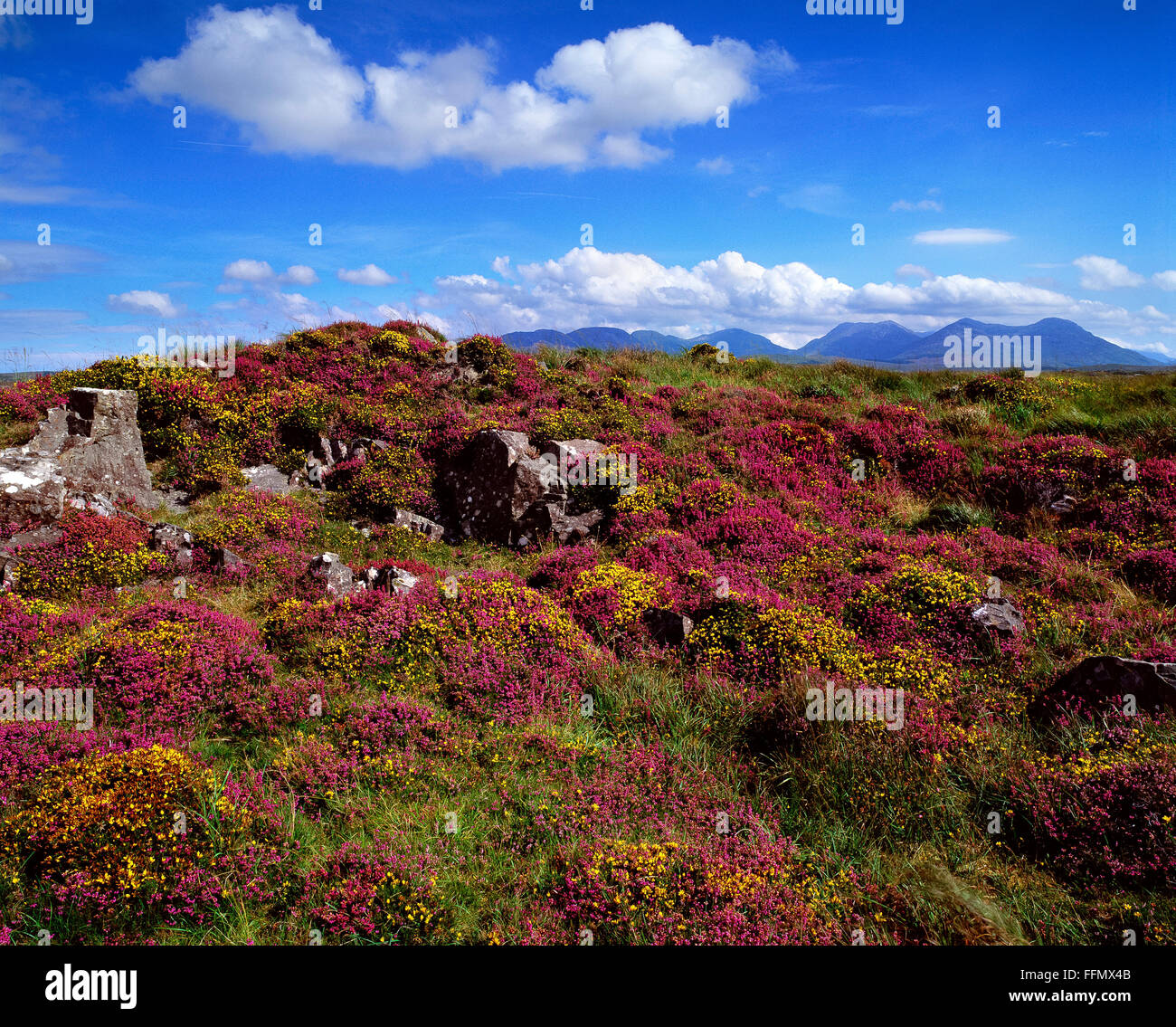Heather bank and wild flowers Roundstone Bog Connemara Twelve Pins Galway Ireland - Stock Image