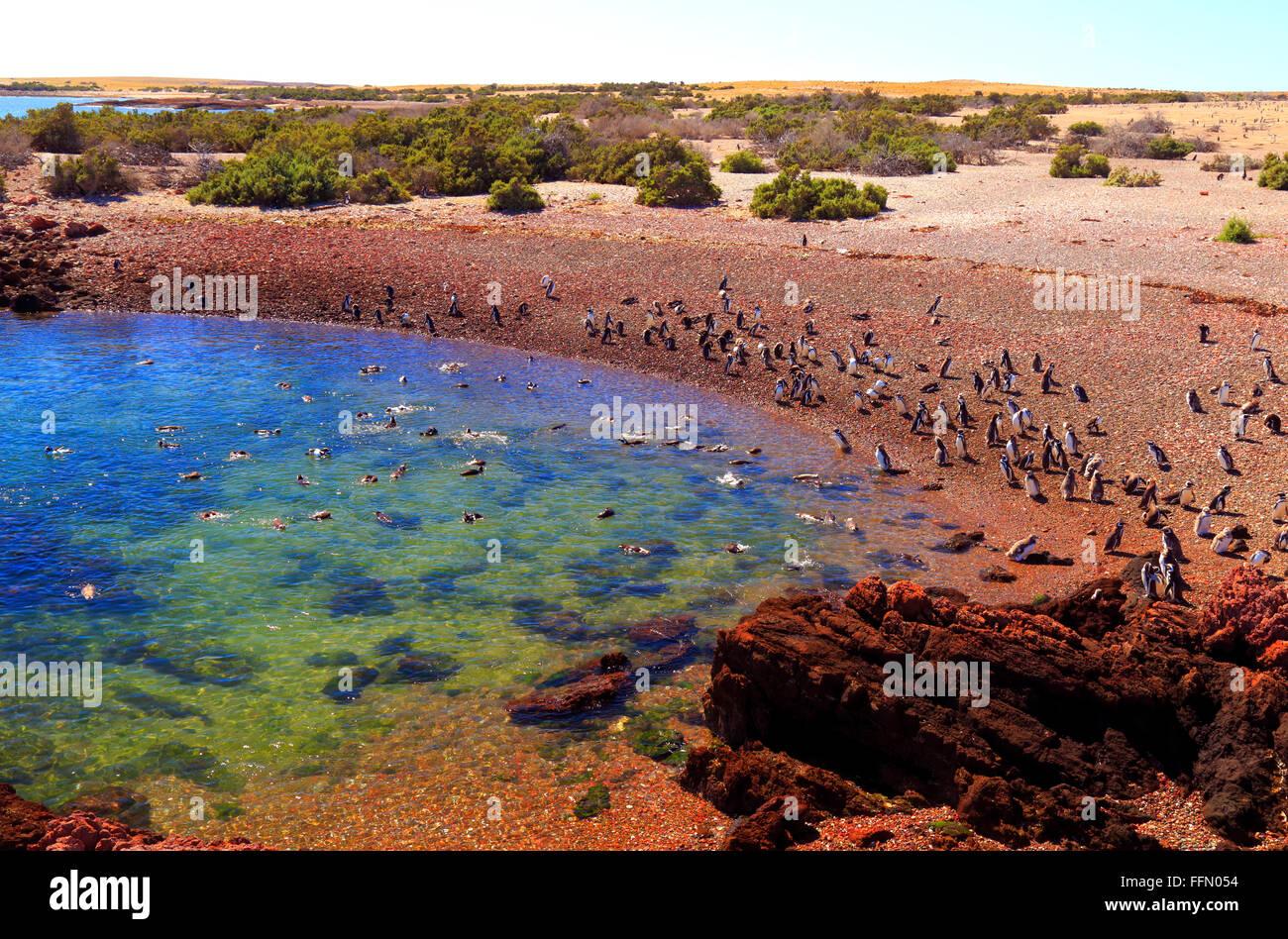 Punta Tombo penguins reservation. Chubut, Argentina - Stock Image