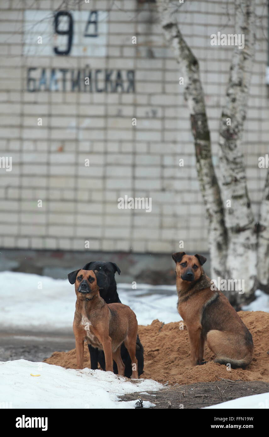 Yaroslavl, Russia. 16th February, 2016. Dogs near the site of a blast in a block of flats in the city of Yaroslavl. - Stock Image