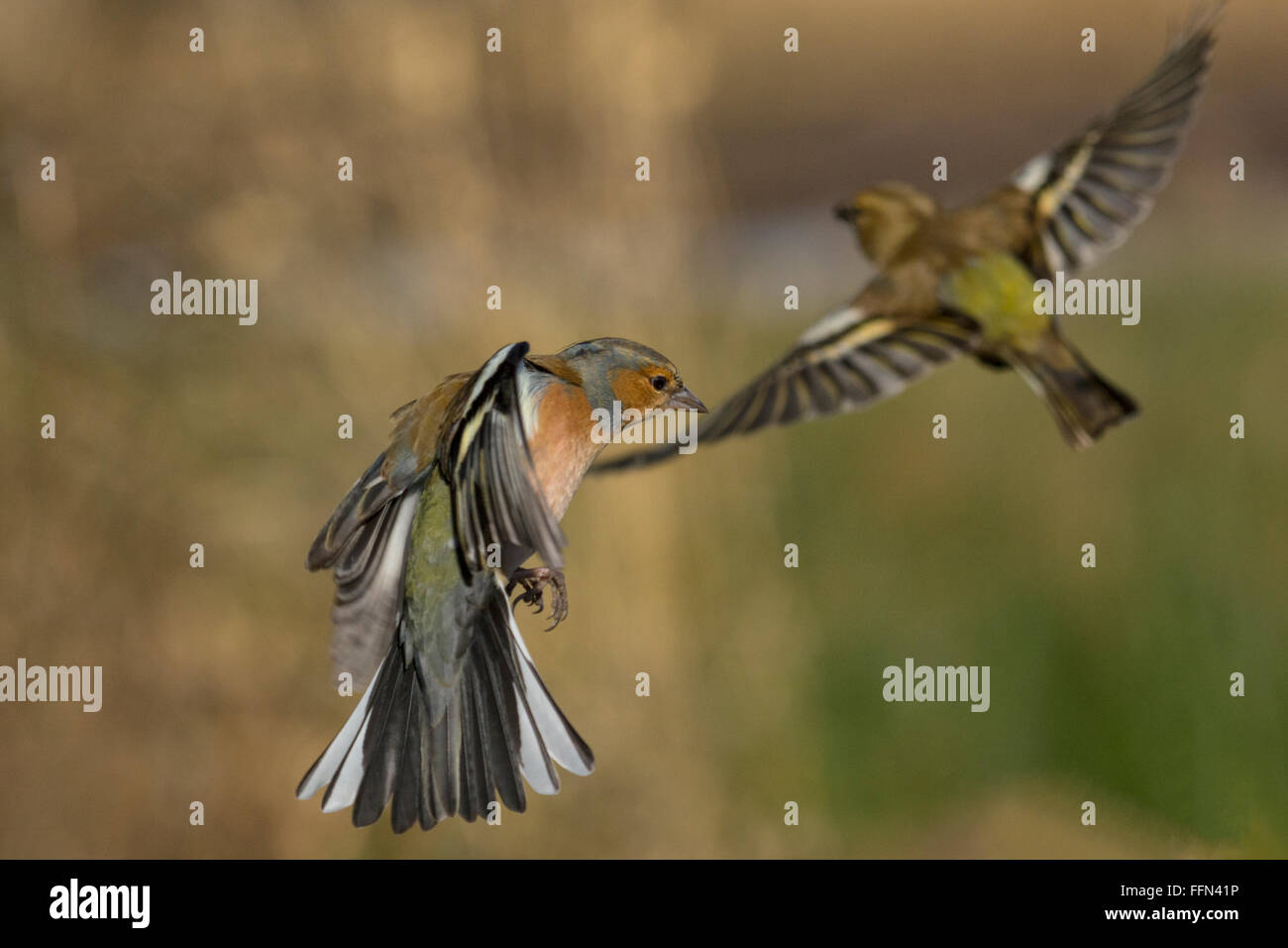 Chaffinches in flight - Stock Image
