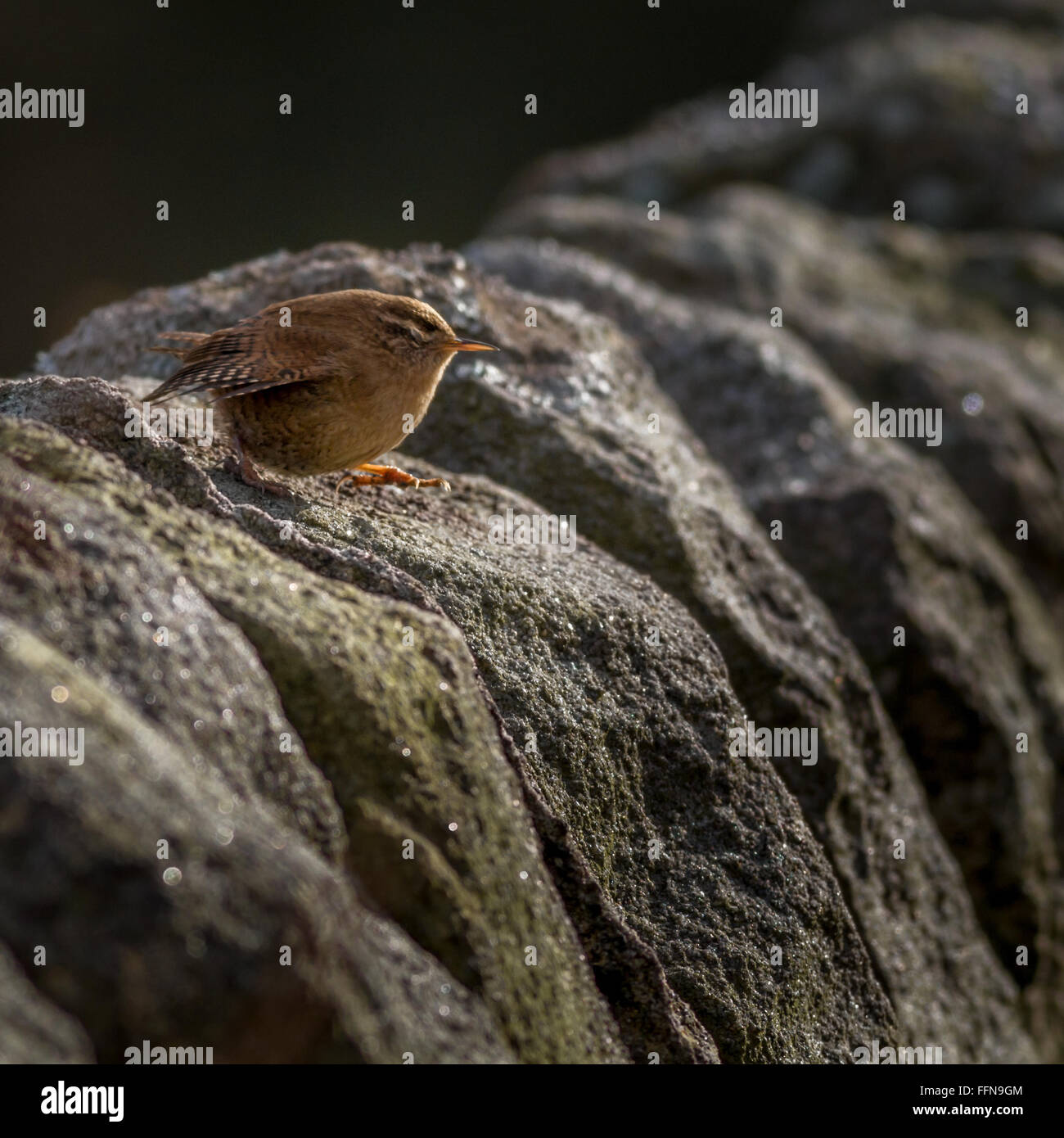 Leap of faith - Wren (troglodytes troglodytes) stepping with its eyes shut, Yorkshire. - Stock Image