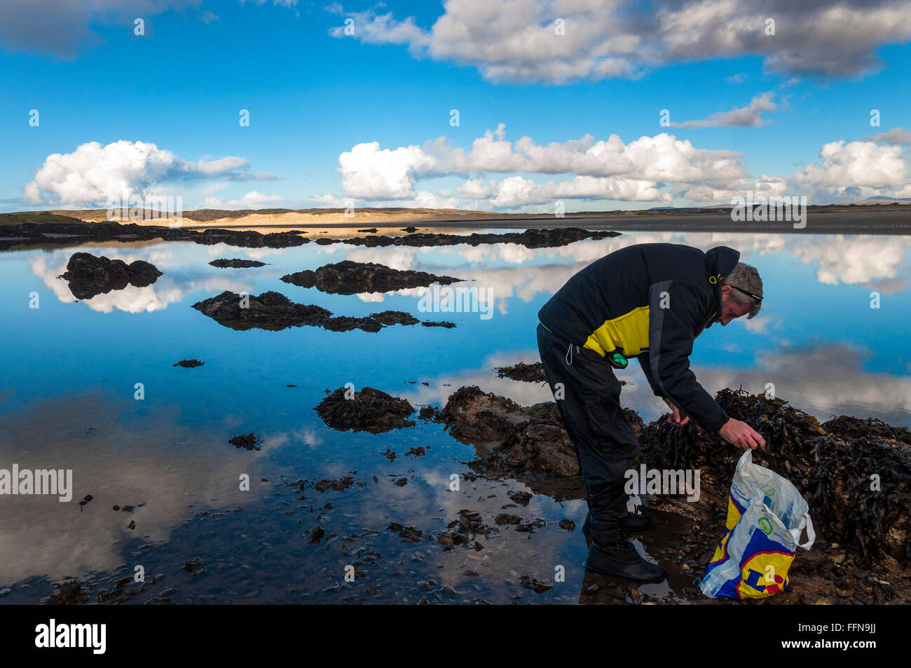 A man collects mussels on a calm day on Ireland's west coast near Ardara, County Donegal, Ireland - Stock Image