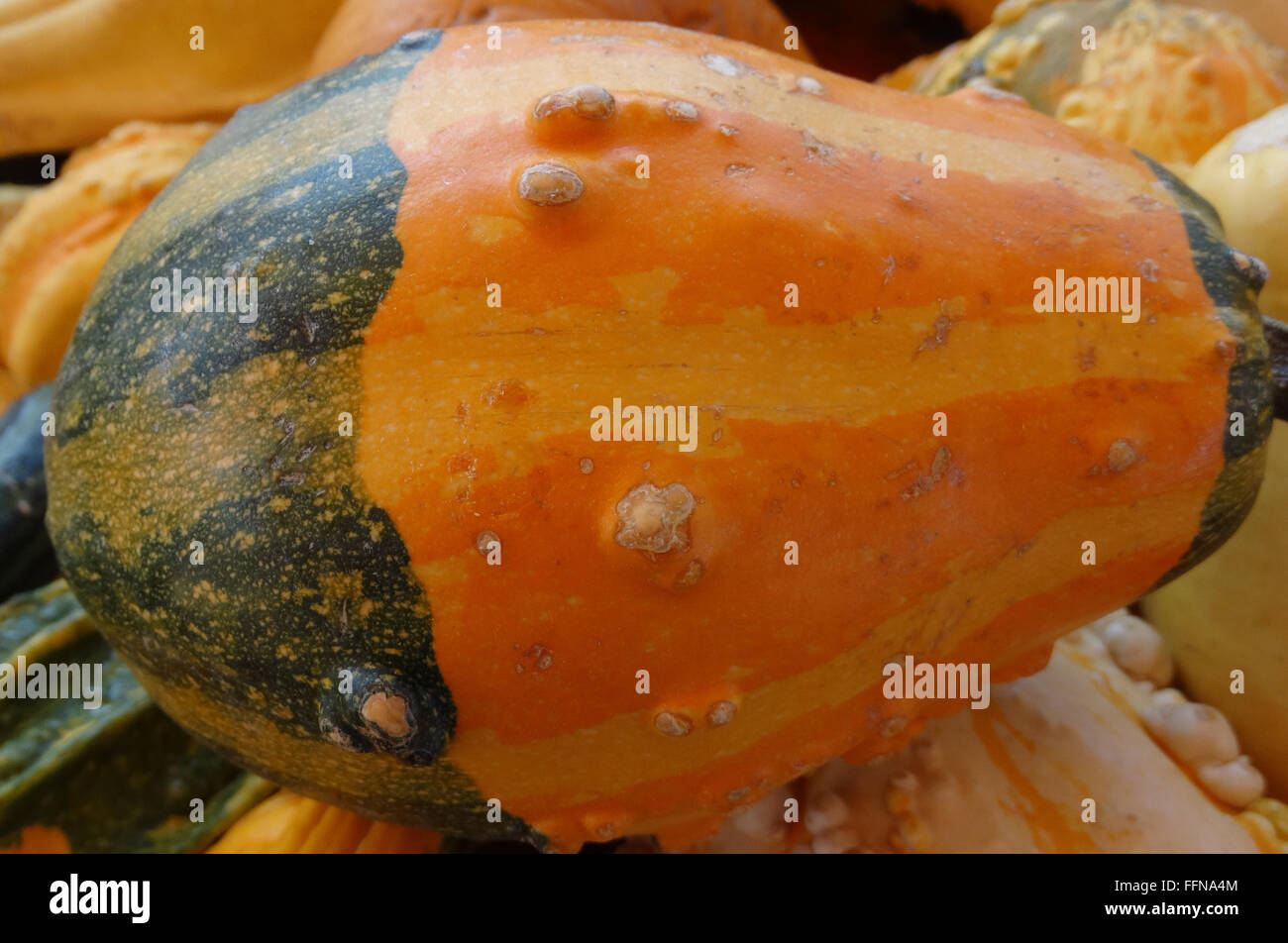 Cucurbita pepo, Warty bicolored pear gourd, ornamental gourd, bicolored with warts, lowers portion green uper orange Stock Photo