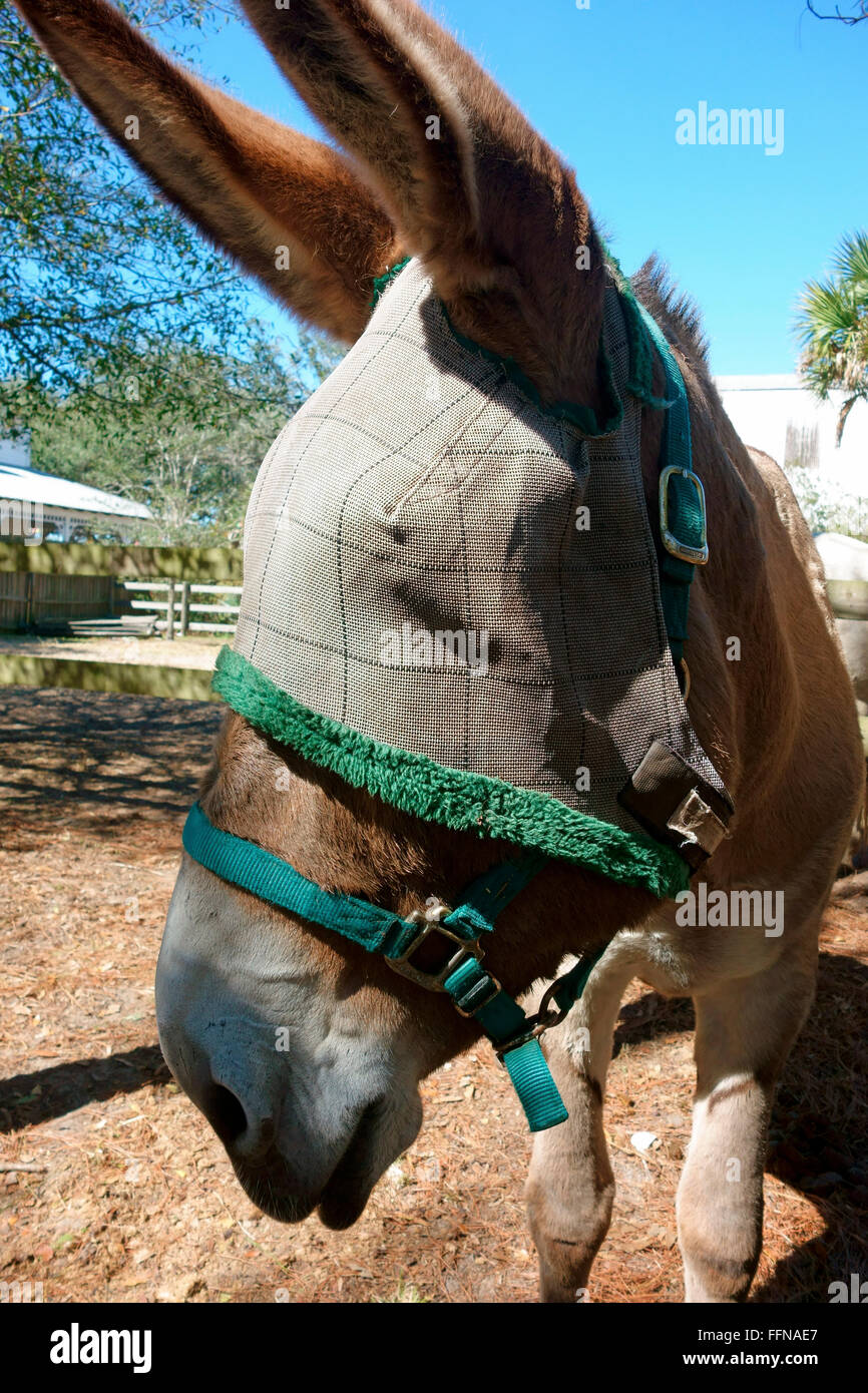 A fly cover face cover on a donkey for protection from biting insects - Stock Image