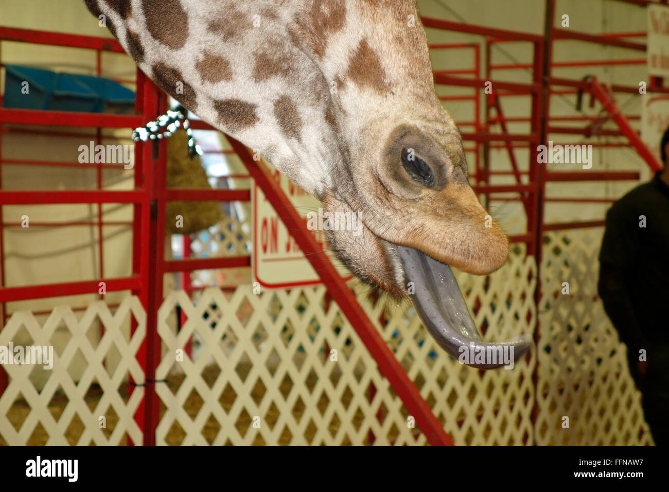 The tongue on a giraffe sticking out - Stock Image
