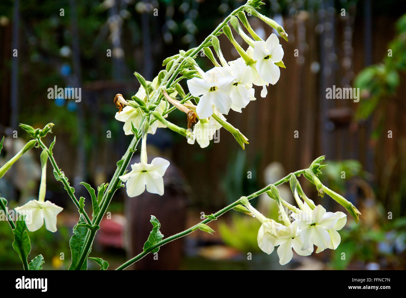 Nicotiana alata flowers also known as night blooming jasmine tobacco nicotiana alata flowers also known as night blooming jasmine tobacco in morning after rain izmirmasajfo