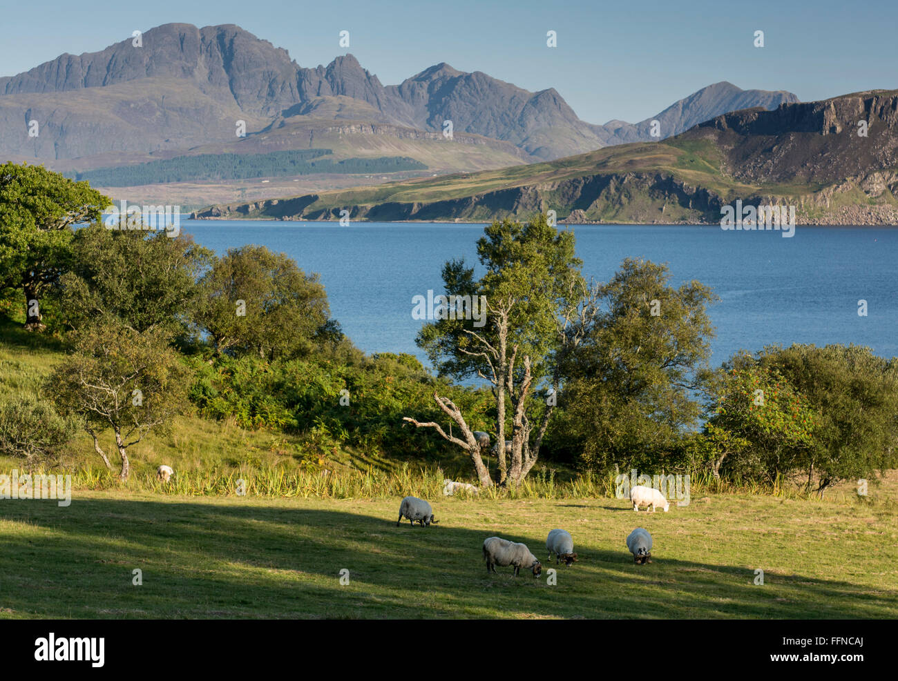 toskavaig sleat with sheep grazing and view of blaven with trees - Stock Image