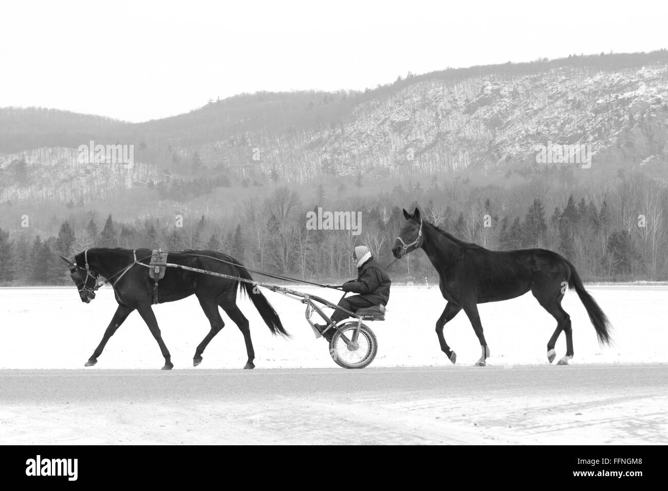 two harness racers starting a workout bw - Stock Image