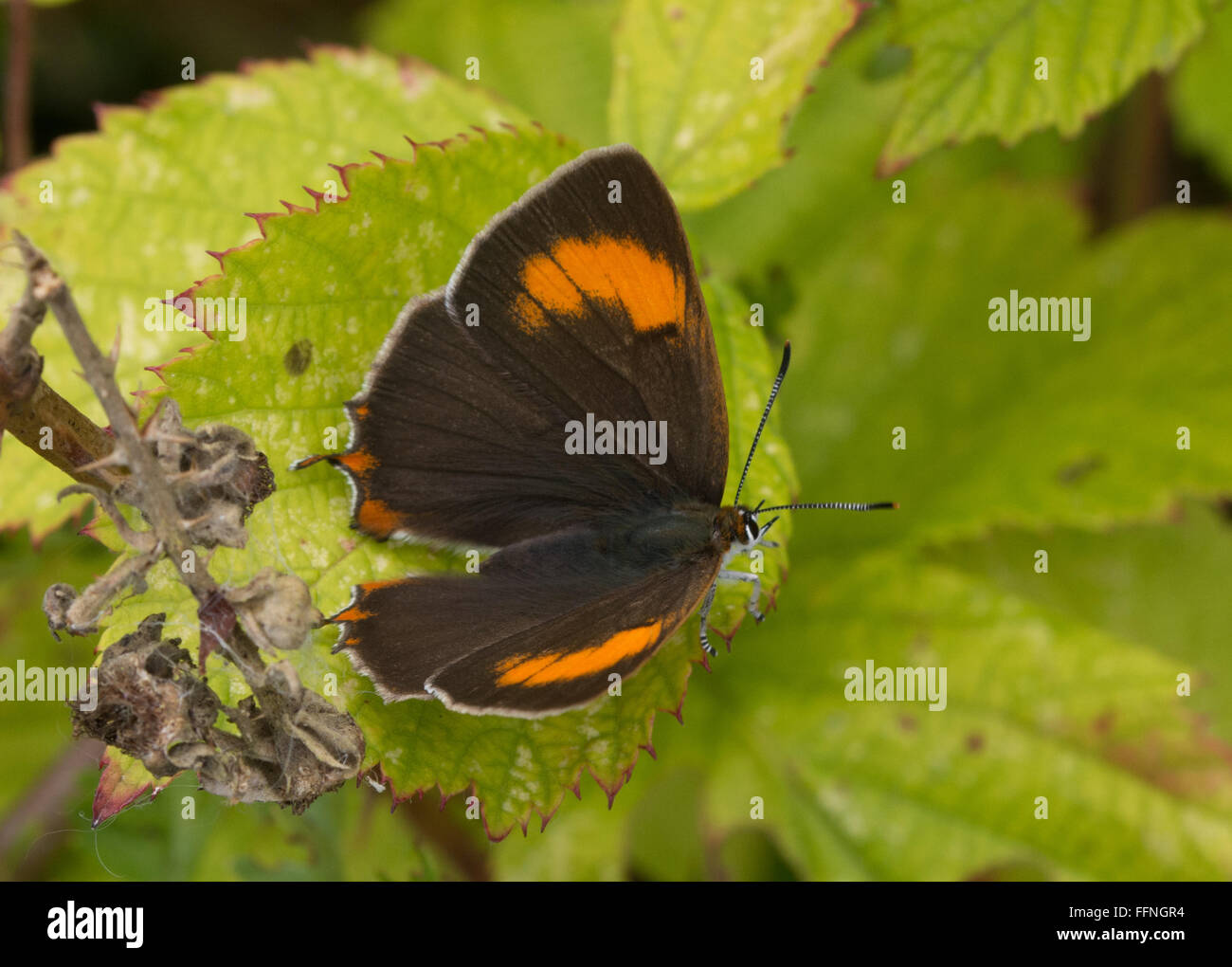 Brown hairstreak (Thecla betulae) female butterfly resting with open wings on green bramble leaf Stock Photo