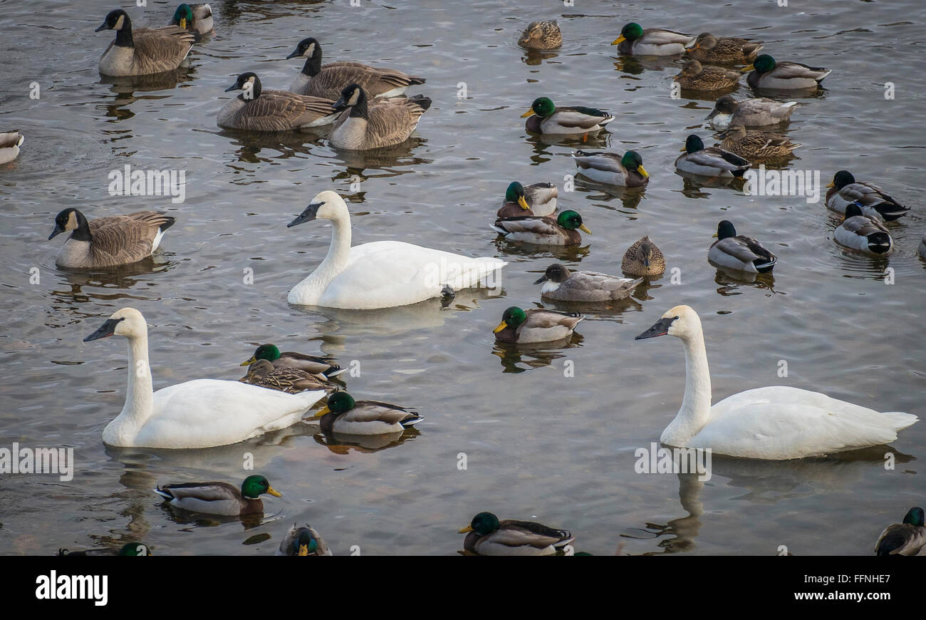 Trumpeter Swans , Canadian Geese, and Mallards  size comparison at Swan Park on the Mississippi River, Monticello, - Stock Image