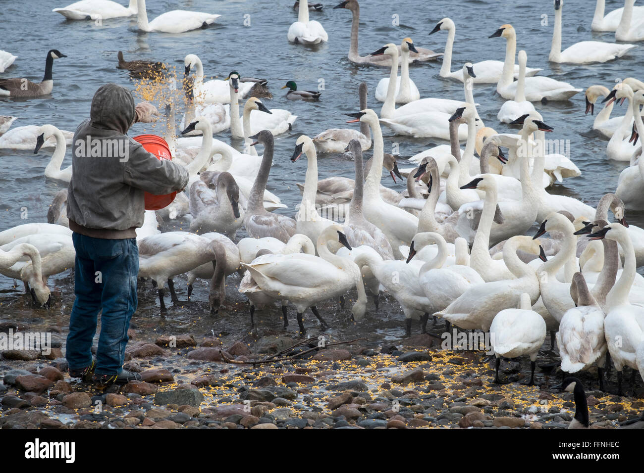 Trumpeter Swans feeding station at Swan Park on the Mississippi River, Monticello, MN,USA - Stock Image