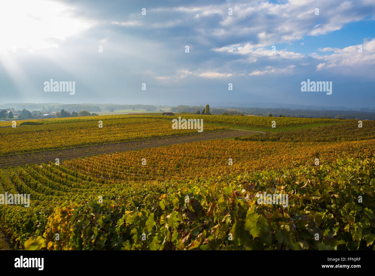Colorful vineyards near Geneva, Switzerland, dramatic sky in the background with sun rays piercing through the clouds - Stock Image