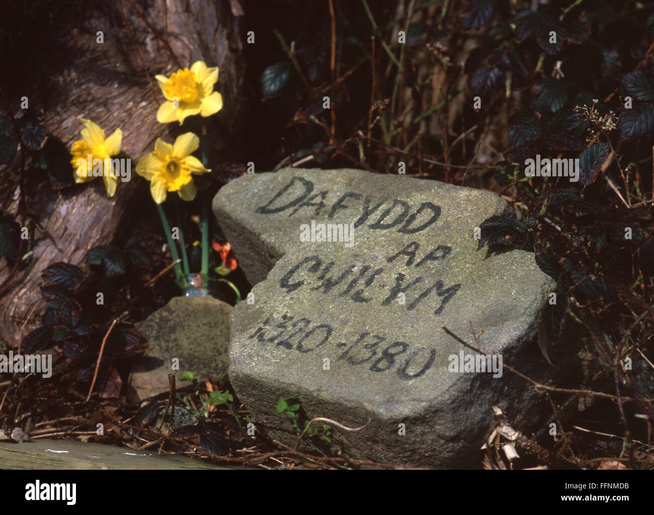 Dafydd ap Gwilym memorial stone Welsh medieval 14th century poet with daffodils under tree in Strata Florida Ystrad - Stock Image