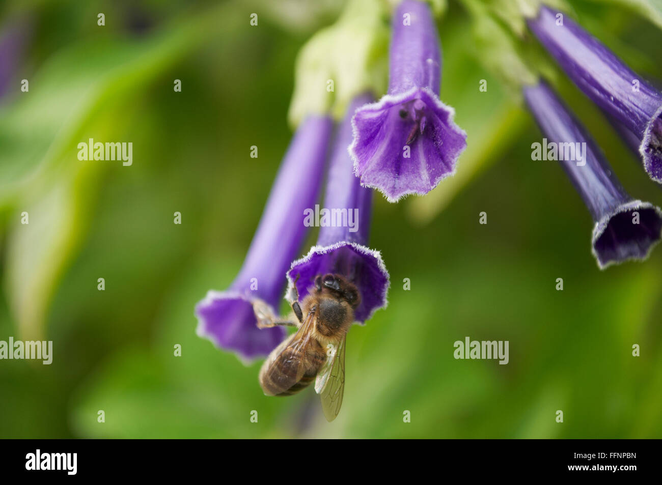 on the background of green leaves blue flower and bee - Stock Image