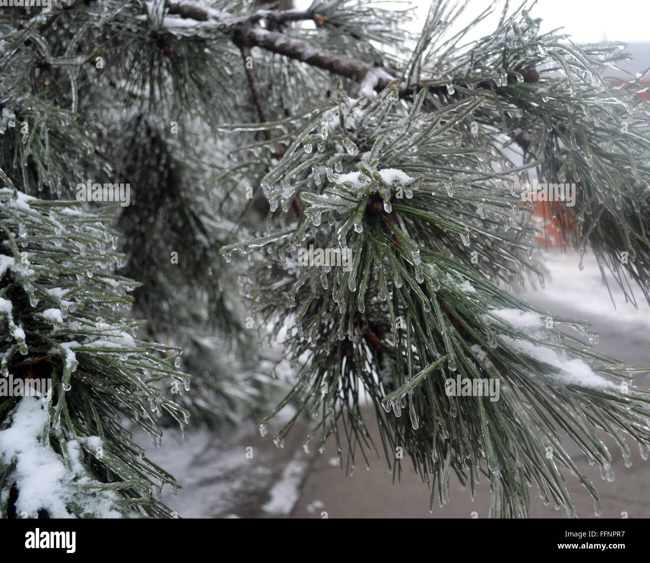 Frozen pine tree branch covered with ice - Stock Image
