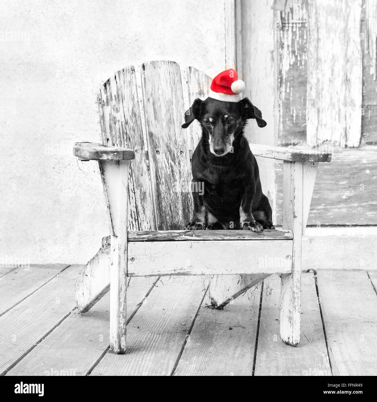 miniature tiny dachshund dog sits in  a white  adirondack chair by a distressed barn wearing a red santa hat. - Stock Image