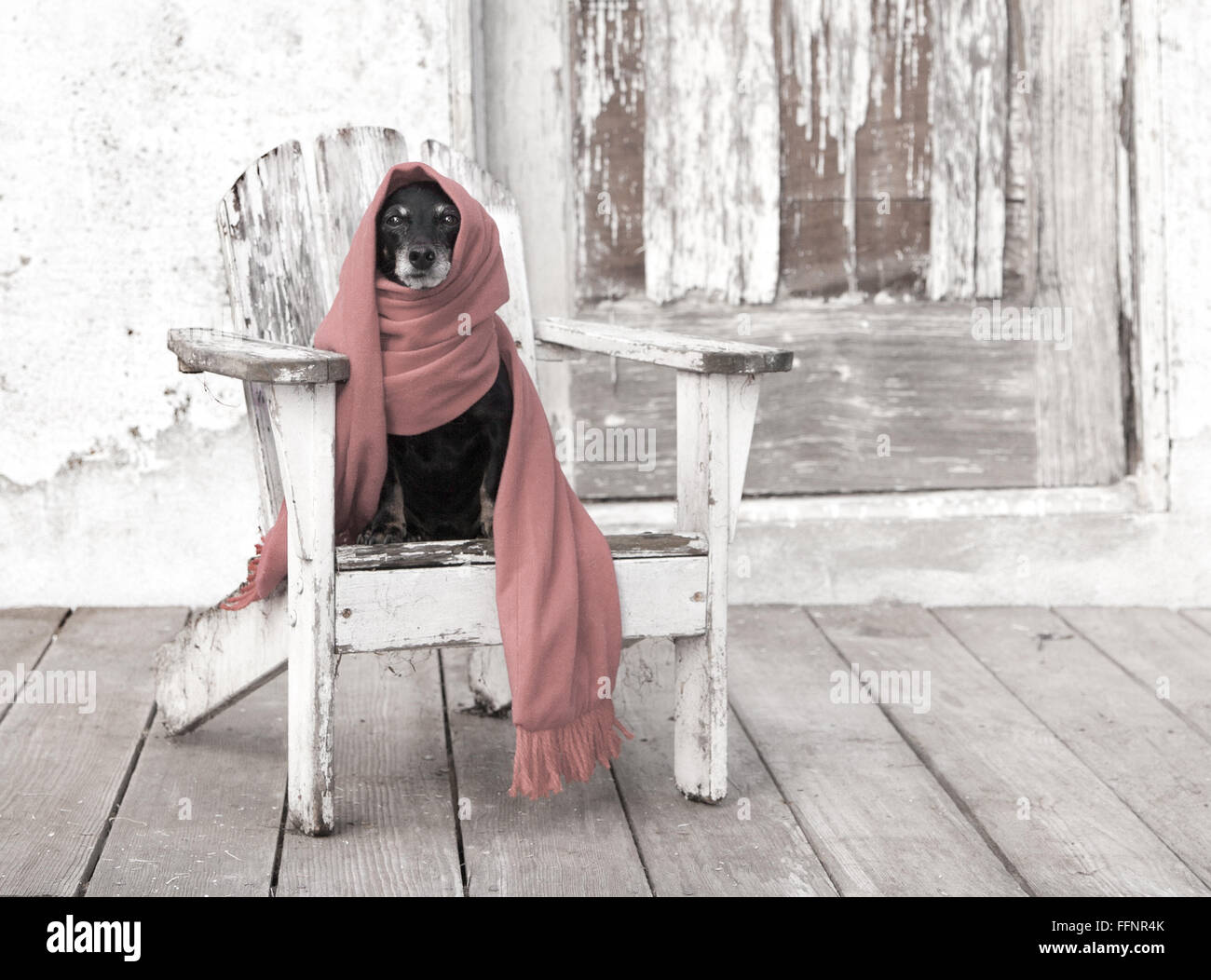 Miniature pet dachshund dog sits on distressed adirondack chair by an old barn wearing a long  scarf wrapped around - Stock Image